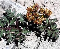 Cymopterus purpureus