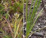 Cyperus X mesochorus