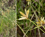 Cyperus lanceolatus