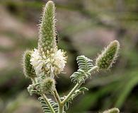 Dalea albiflora