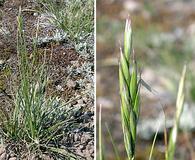 Danthonia intermedia