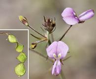 Desmodium neomexicanum