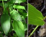 Dichanthelium latifolium