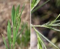 Dichanthelium strigosum