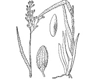 Dichanthelium wilcoxianum