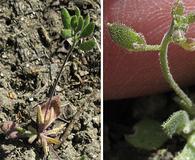Draba cuneifolia