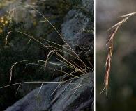 Elymus arizonicus