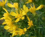 Ericameria bloomeri