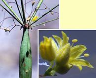 Eriogonum clavatum