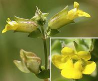 Erythranthe microphylla