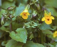 Erythranthe nasuta