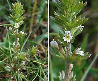 Euphrasia hudsoniana
