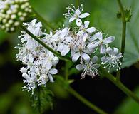 Filipendula occidentalis