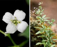 Galium mexicanum