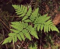 Gymnocarpium disjunctum
