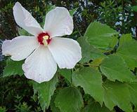 Hibiscus moscheutos