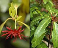 Illicium floridanum