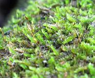 Isopterygium tenerum