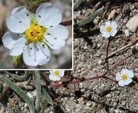 Ivesia santolinoides