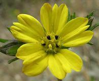 Lagophylla glandulosa