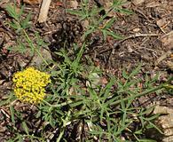 Lomatium brandegeei