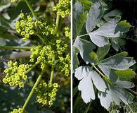 Lomatium californicum
