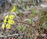 Lomatium farinosum