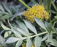 Lomatium latilobum