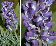 Lupinus parviflorus