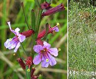 Lythrum californicum