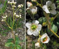 Micranthes californica