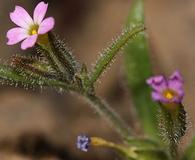 Microsteris gracilis