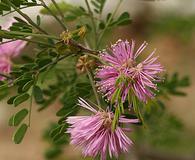 Mimosa borealis