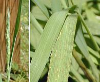 Muhlenbergia racemosa