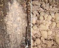 Ochrolechia arborea