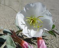 Oenothera californica
