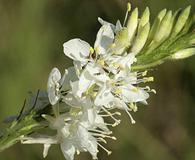Oenothera glaucifolia