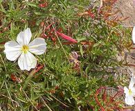 Oenothera pallida