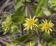 Oreochrysum parryi