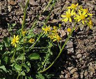 Packera streptanthifolia