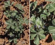 Pediomelum mephiticum