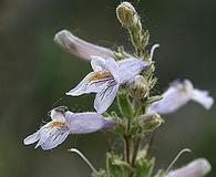 Penstemon gracilis