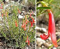 Penstemon rostriflorus