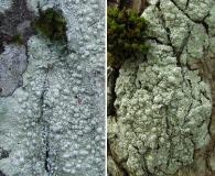 Pertusaria paratuberculifera