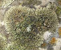Phaeophyscia ciliata