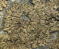 Phaeophyscia rubropulchra