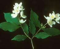 Philadelphus pubescens