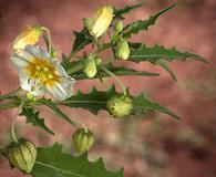 Physalis acutifolia