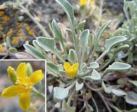 Physaria ludoviciana