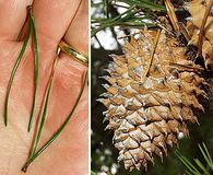 Pinus pungens